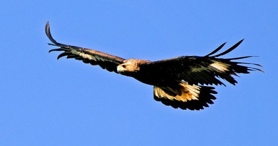 golden eagle fishing bird watching photo safaris 40 exotic species ox ranch