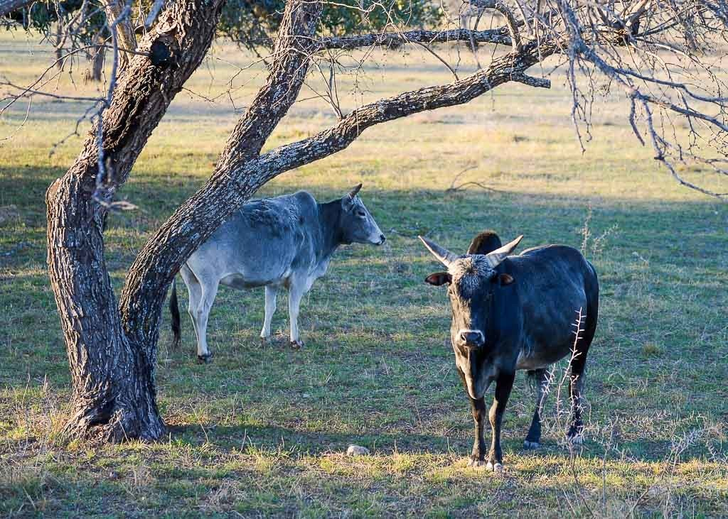 zebu hunting 60 species available for hunt ox ranch texas