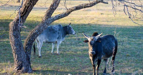 Texas Zebu hunts