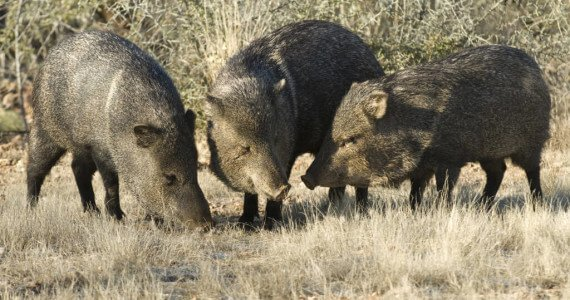Texas Javelina Hunting