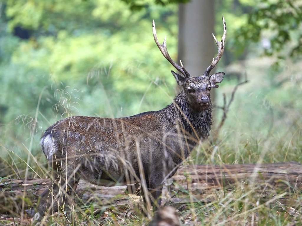 Sika Stag: 18,000 Acres In Texas