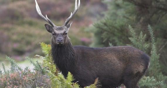 sika deer hunting
