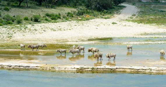 herd of white buffalo crossing water