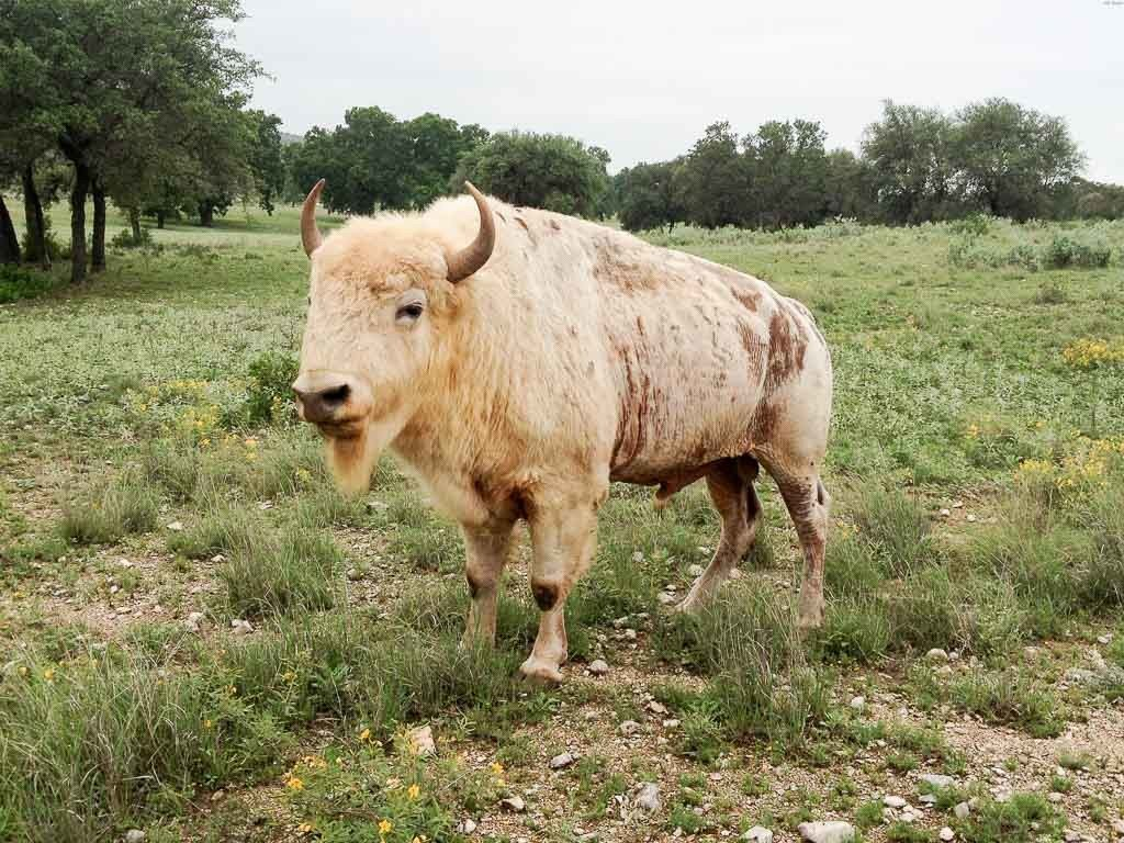 White Buffalo Hunting | 60+ Species Available | Ox Ranch ...