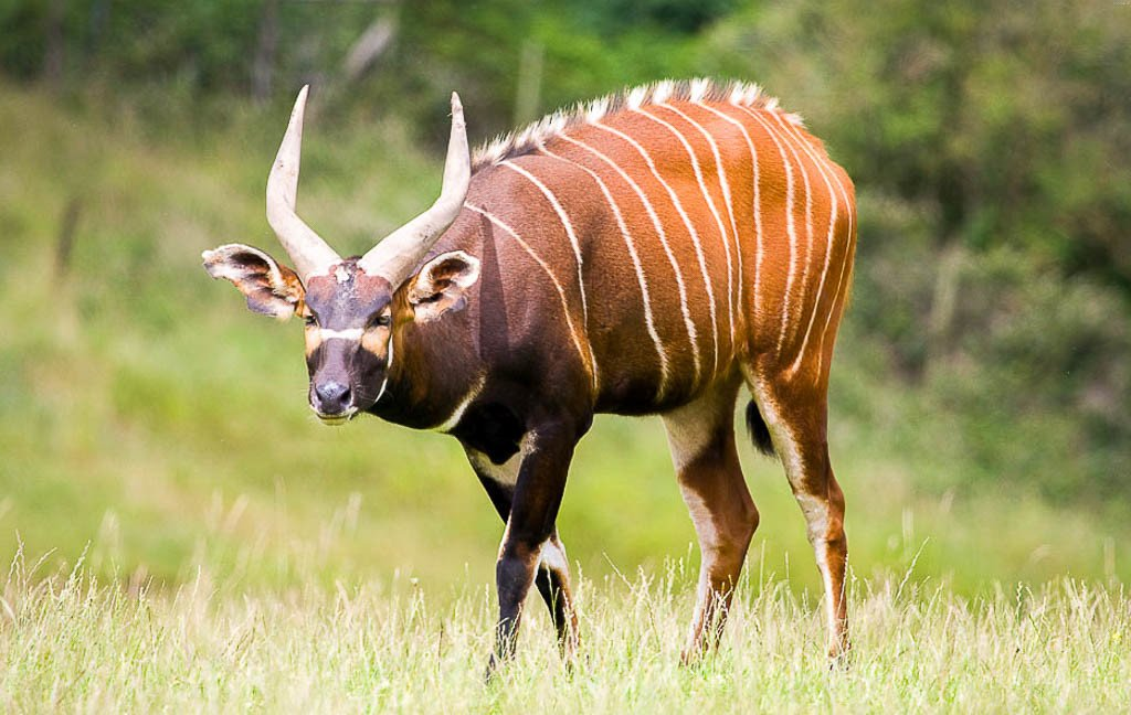 how to draw a bongo animal