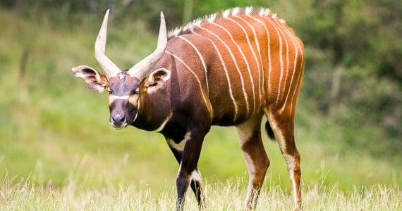 bongo antelope hunts