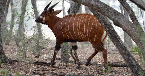 bongo-hunts