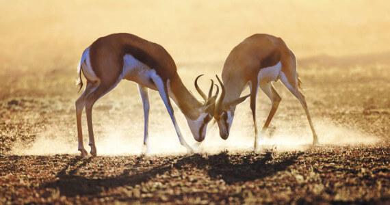 springbok antelope hunting
