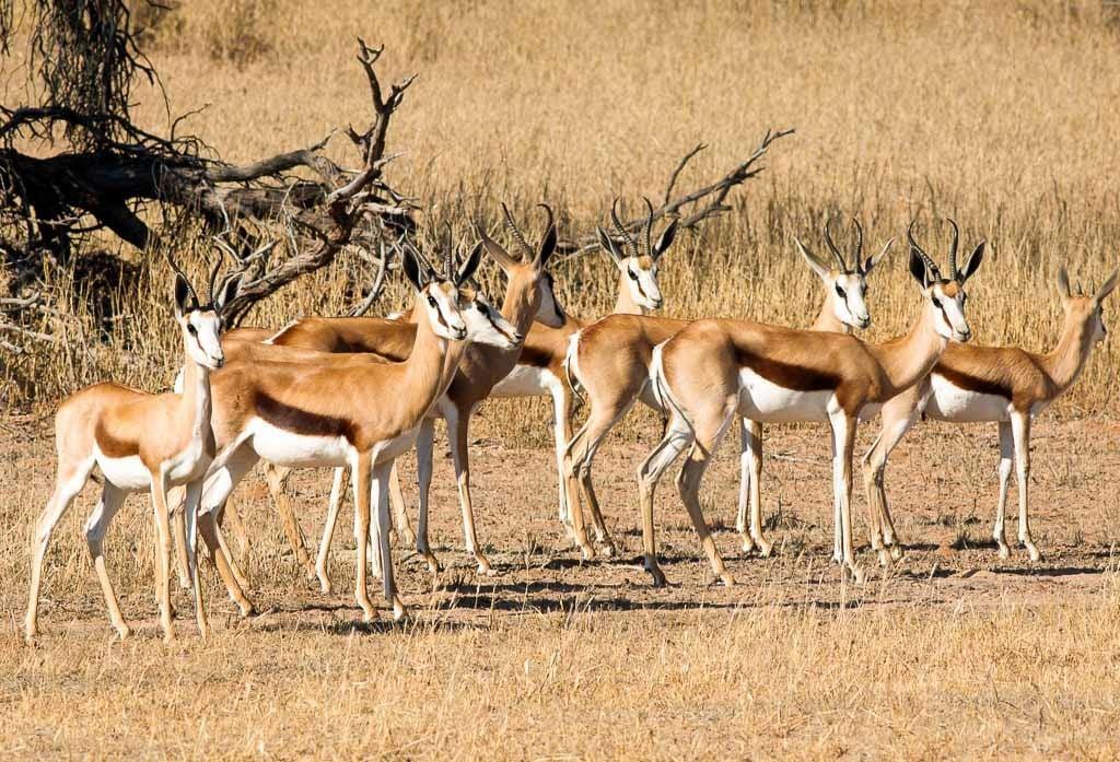 Springbok Hunting | 18,000 Acres in Texas | 60+ Species ...