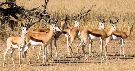 springbok antelope hunts