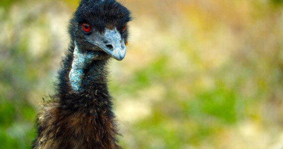 emu hunting in Texas
