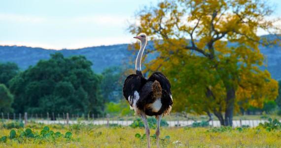 Ostrich hunts