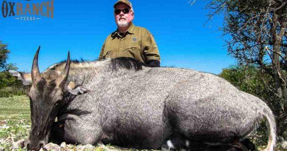 Texas Nilgai hunts