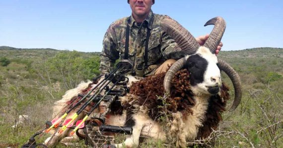Four Horned Jacob Sheep Hunting 60 Species Texas Ox
