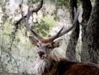 Manchurian sika deer
