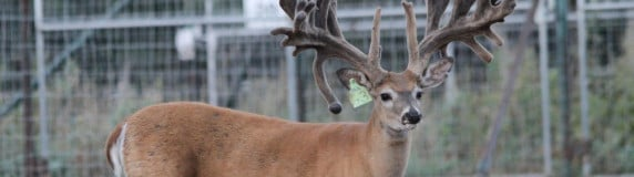 Whitetail and Exotic Breeding – Part 2